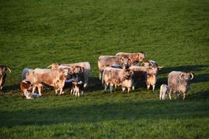 Blackbrook Cattle