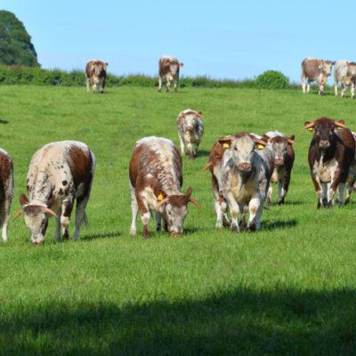 The Blackbrook Herd of Pedigree Longhorns