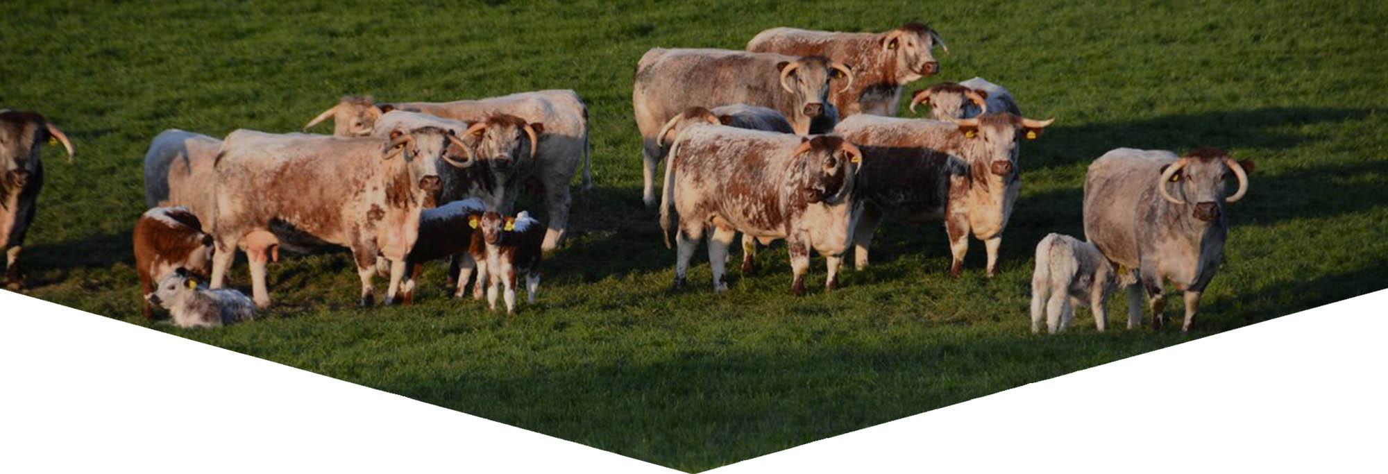 Blackbrook Longhorns Cattle Herd
