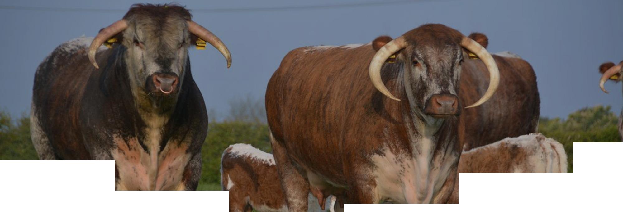 Blackbrook Longhorns Worldwide Exporting