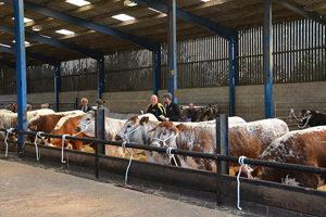 Row of longhorns