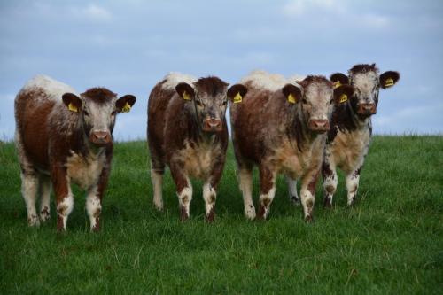 Heifer Calves 2020